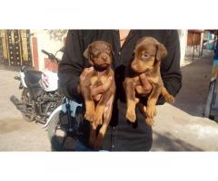 Doberman pups for sale in Low Price in Ahemdabad Call 8708195233