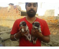 Pug pups for sale in Low Price in Vadodra Gujarat Call 8708195233