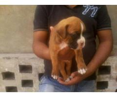 Boxer pups for sale in Low Price in Vadodra Gujarat Call 8708195233