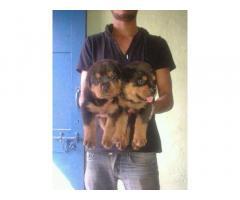 Rottweiler pups for sale in Low Price in Vadodra Gujarat Call 8708195233