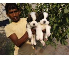 Saint bernard pups for sale in Low Price in Vadodra Gujarat Call 8708195233