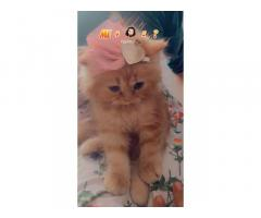 Gold color persian cat for sale