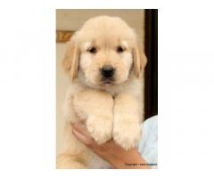 Golden Retriever pups for sale in Low Price in Ahemdabad Call 8708195233