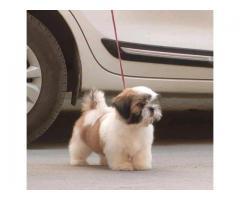 Drools Focus Starter Super Premium Dry Dog Food, 4kg