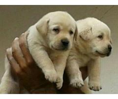 Labrador pups for sale in Low Price in Ahmadabad Call 8708195233