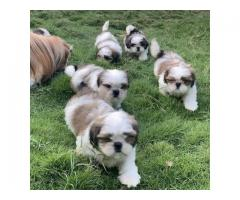 French Bulldog  pups for sale in Low Price in Ahemdabad Call 8708195233