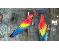 African grey parrot birds Psittacus erithacus for sale whats-app +237692710498