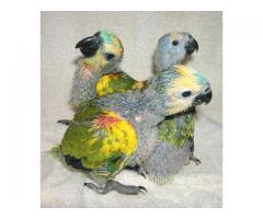 Amazon Parrots Amazona for sale whats-app +237699461444
