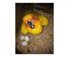Sun conure Parrots for sale whatsapp +237699461444