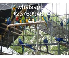 Crimson Billed conure Parrots whatsapp +237699461444