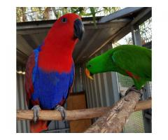Electus Parrots for sale (Eclectus roratus) whatsapp +237699461444
