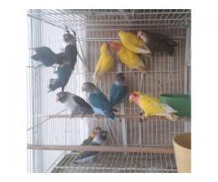Alexandrine parakeet Psittacula eupatria whatsapp +237699461444