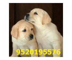 Adorable Labrador Retriever Puppies Available for sale 9520195576
