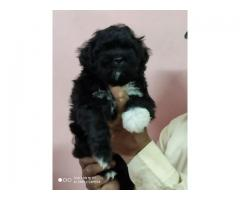 Trust kennel Lhasa Apso Pups For Sell