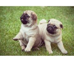 Trust Kennel Pug Pups For Sale