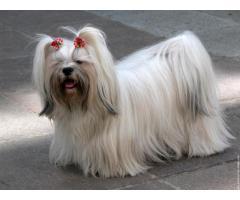 Trust Kennel Shihtzu Pups For Sale In Delhi