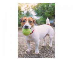 Trust Kennel Jack Russell Pups For Sale