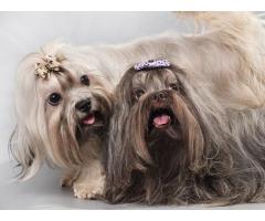 Trust Kennel Havanese Pups For Sale