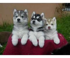 Trust Kennel Offer Siberian Husky Pups For Sale