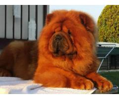Trust kennel Chow Chow Pups For Sale