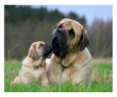 Trust Kennel Mastiff Pups For Sale