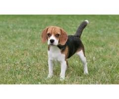 Beagle Puppies ava.for sale 8810523600