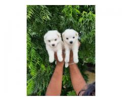 POMERANIAN puppies available for sale in dreamy pets