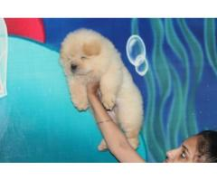 Chow Chow boy and girl for sale