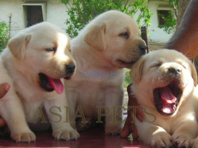 Labrador pup price Delhi