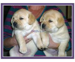labrador puppies for sale in delhi ncr