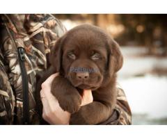Chocolate Labrador puppies for sale in delhi