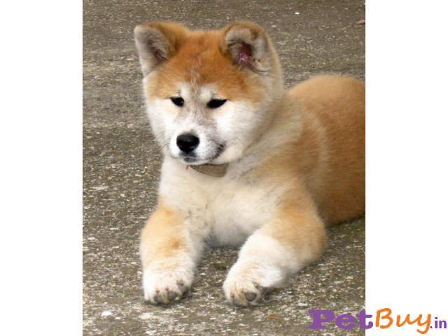 AsiaPets - Japanese Akita Puppies sale india