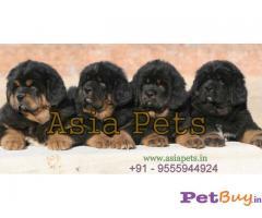Tibetan Mastiff Price In India   Tibetan Mastiff For Sale In India