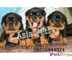 Rottweiler puppies for sale in noida