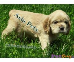 AMERICAN COCKER SPANIEL PUPPIES FOR SALE IN INDIA