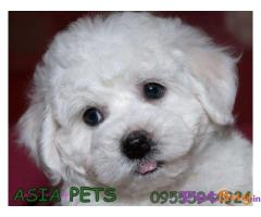 BICHON FRISE PUPPIES FOR SALE IN INDIA