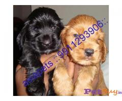 COCKER SPANIEL PUPPIES FOR SALE IN INDIA