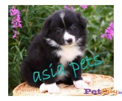 COLLIE PUPPIES FOR SALE IN INDIA