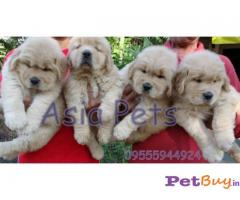 GOLDEN RETRIEVER  PUPPIES FOR SALE IN INDIA