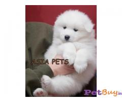 SAMOYED PUPPIES FOR SALE IN INDIA