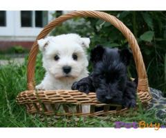 SCHNAUZER PUPPIES FOR SALE IN INDIA