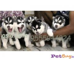SIBERIAN HUSKY PUPPIES FOR SALE IN INDIA