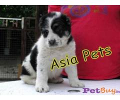 ALABAI PUPPY FOR SALE IN INDIA