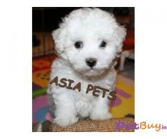 BICHON FRISE PUPPY FOR SALE IN INDIA