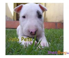 BULLTERRIER PUPPY FOR SALE IN INDIA