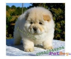 CHOW CHOW PUPPY FOR SALE IN INDIA