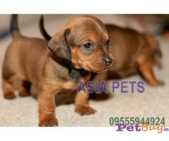DACHSHUND PUPPY FOR SALE IN INDIA