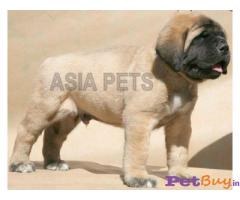 ENGLISH MASTIFF PUPPY FOR SALE IN INDIA