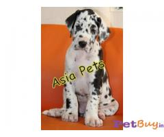 HARLEQUIN GREAT DANE PUPPY FOR SALE IN INDIA