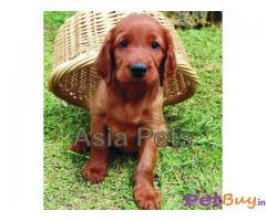 IRISH SETTER PUPPY FOR SALE IN INDIA